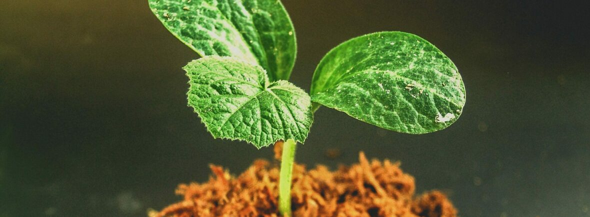 Green Leafed Plant Sprouting